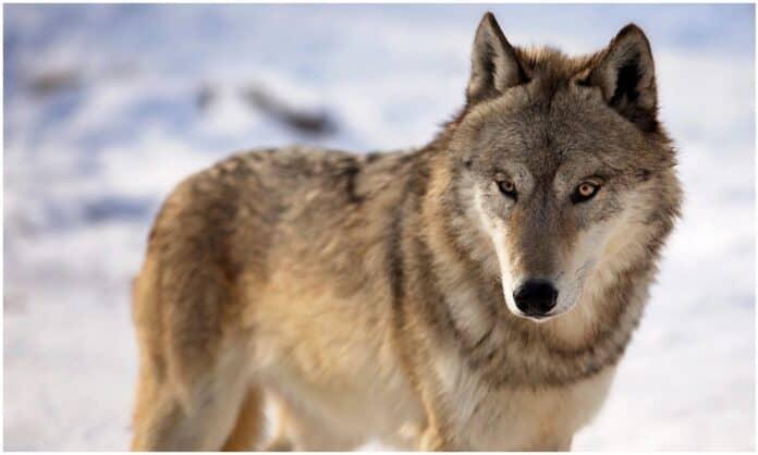 Wisconsin's Wolf Hunt