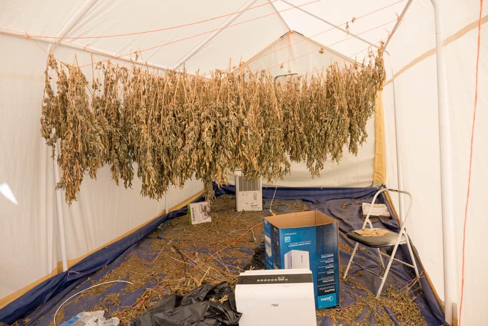 Franklin marijuana grow