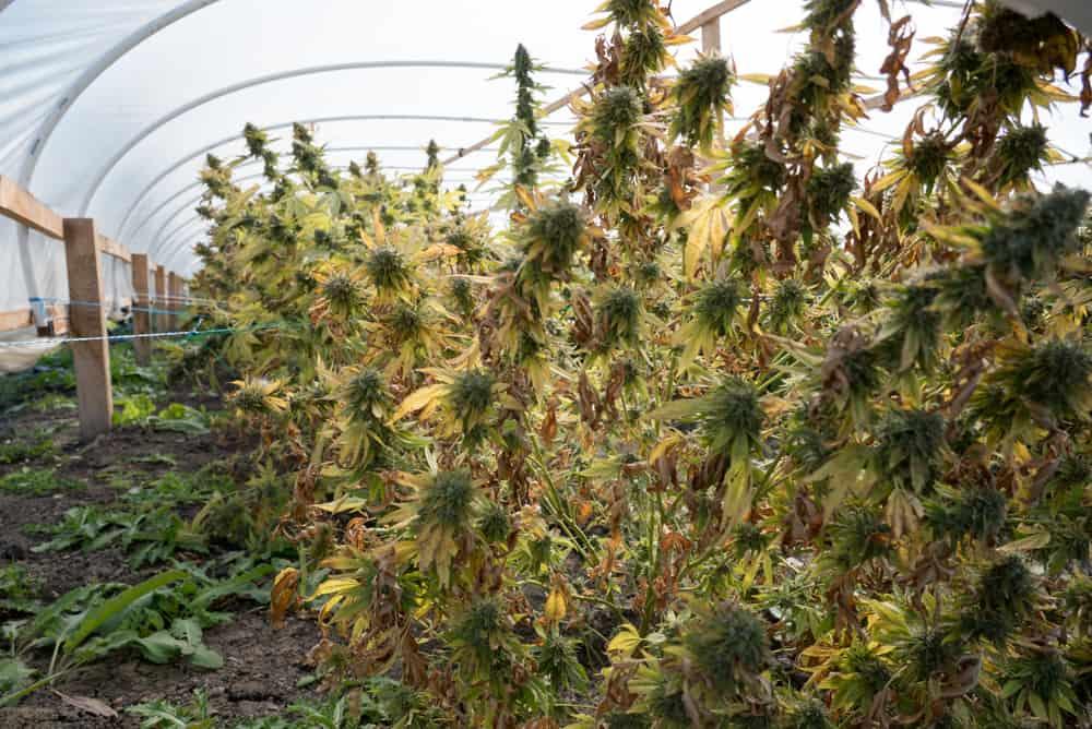 Franklin marijuana